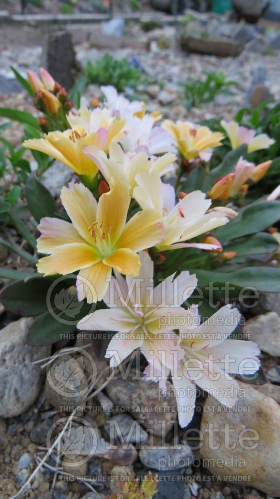 Lewisia Little Peach (Bitter Root) 7