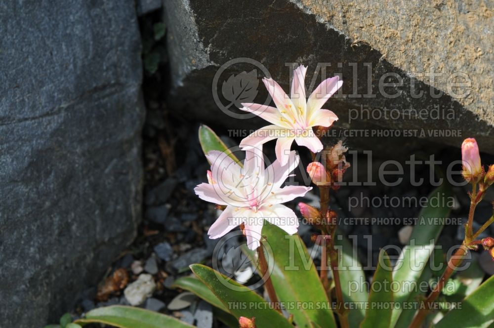 Lewisia Little Peach (Bitter Root) 8