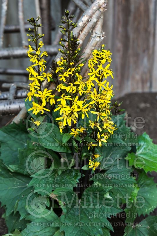 Ligularia Bottle Rocket (Ligularia) 1