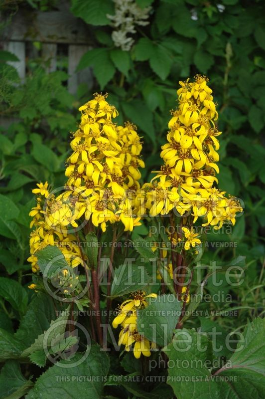 Ligularia Little Lantern (Ligularia) 3
