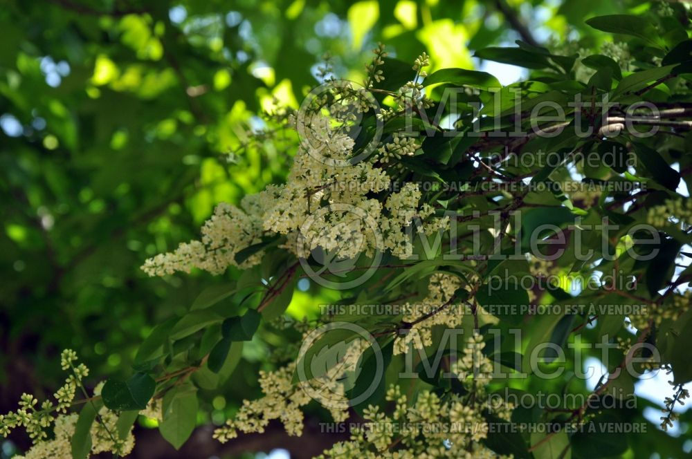 Ligustrum Lemon and Lime (California privet) 1