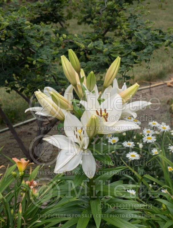 Lilium Bright Diamond (Lily)  1
