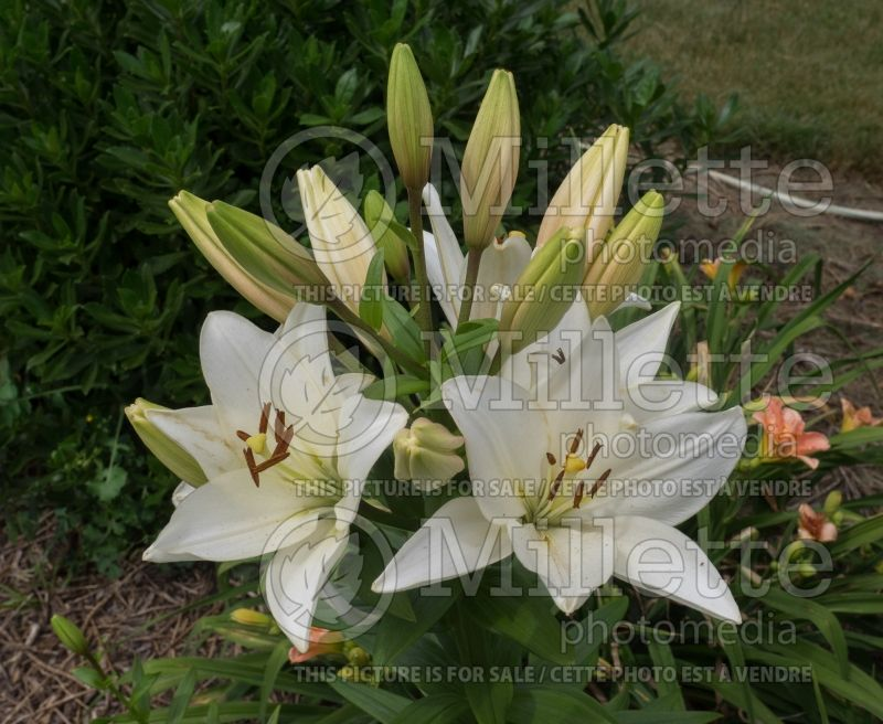 Lilium Bright Diamond (Lily)  2