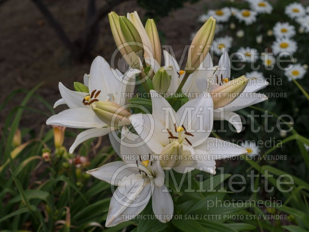 Lilium Bright Diamond (Lily)  3