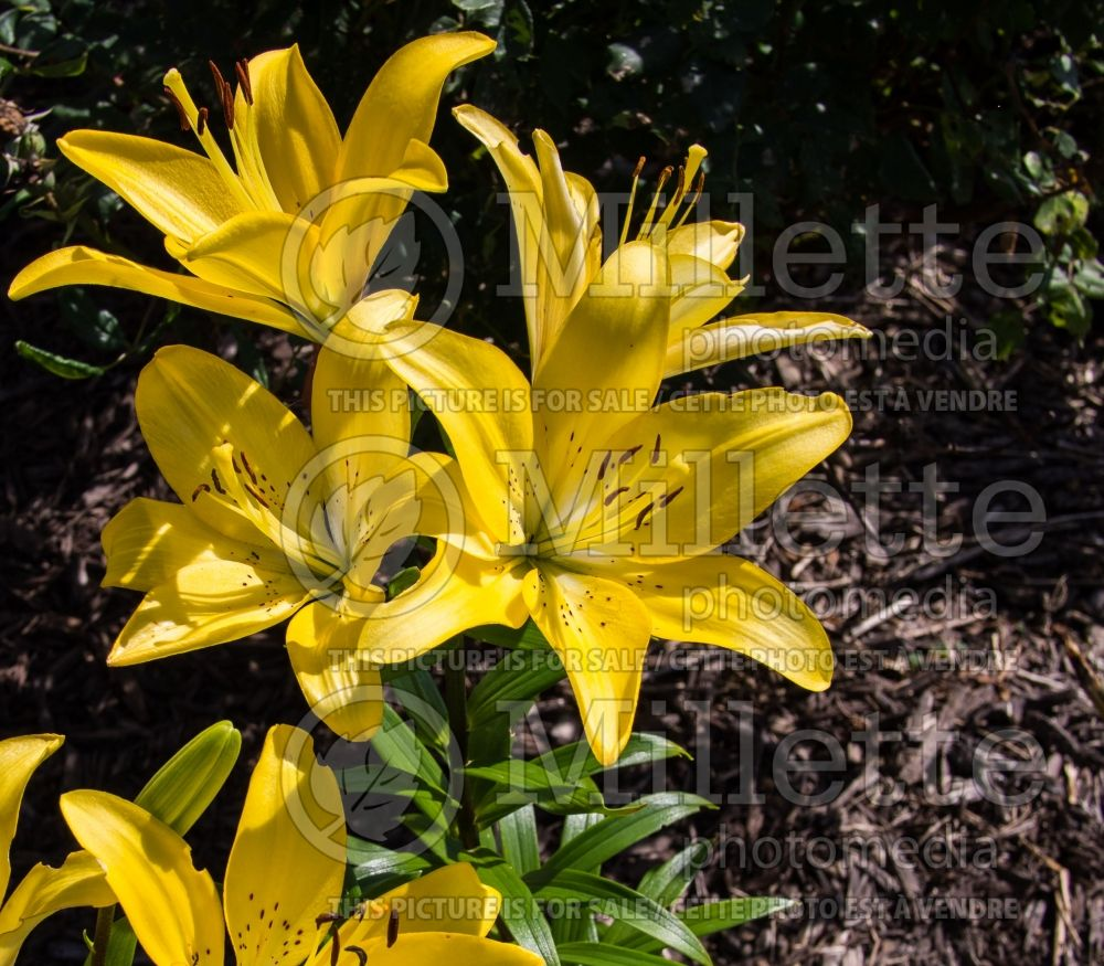 Lilium Easter Bonnet (Asiatic Lily) 1