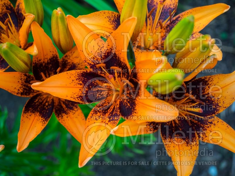 Lilium Orange Art (Lily)  2