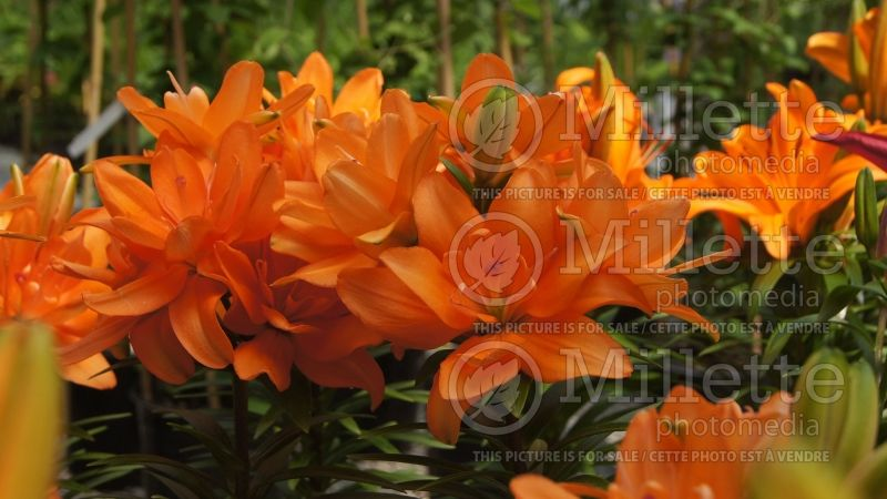 Lilium Tiny Double You (Asiatic Lily)  4