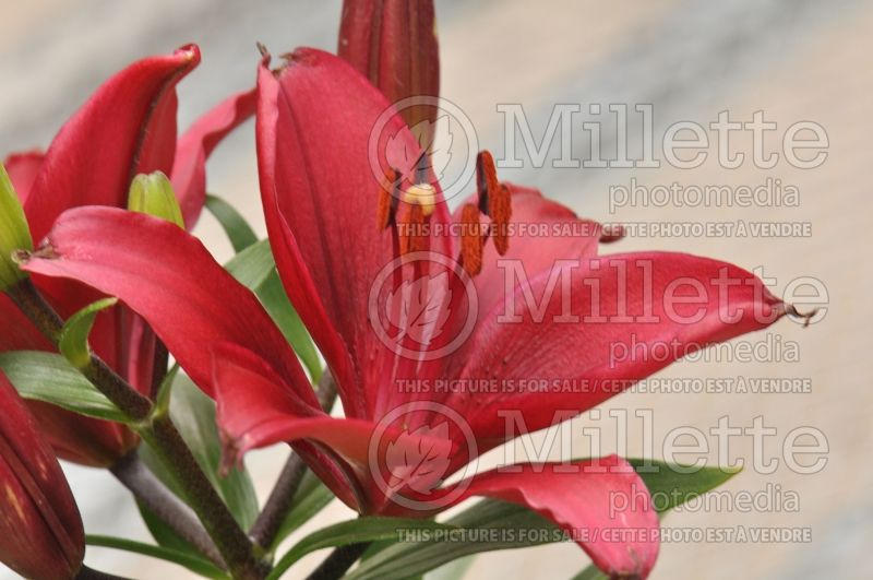 Lilium Tiny Ghost (asiatic Lily)  6