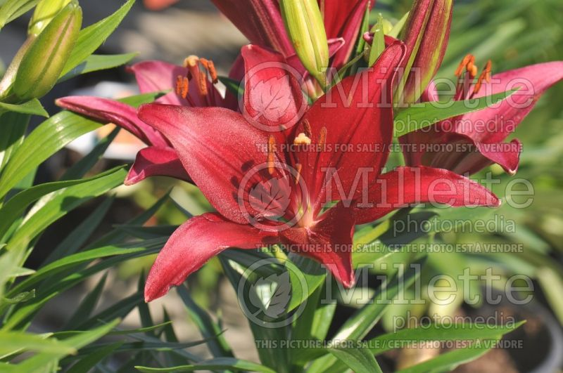 Lilium Tiny Ghost (asiatic Lily)  5