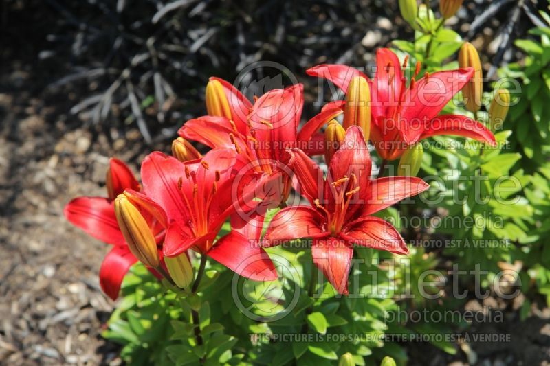 Lilium Tiny Hope (Asiatic Lily)  4