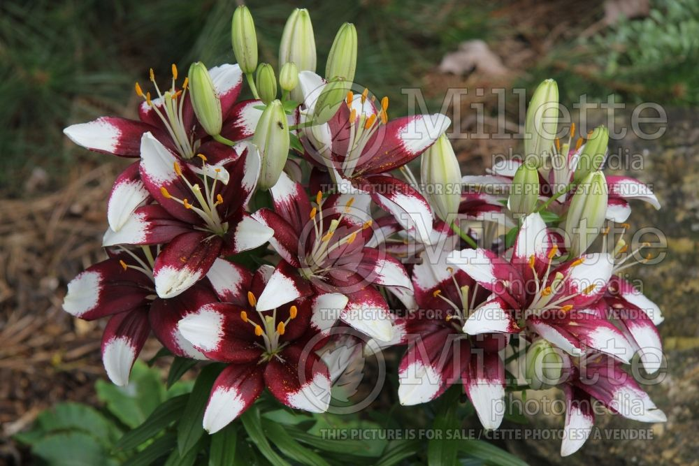 Lilium Tiny Padhye (Asiatic Lily) 2