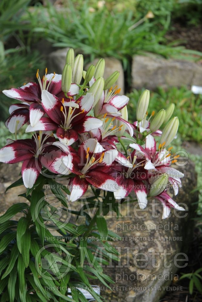 Lilium Tiny Padhye (Asiatic Lily) 3