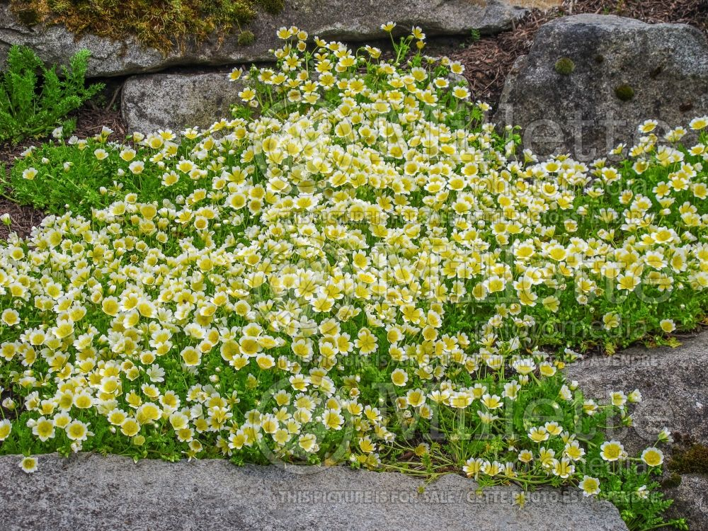 Limnanthes douglasii (Poached egg plant)  1