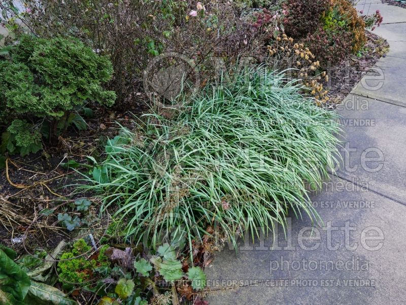 Liriope Big Blue (Lily turf) 3