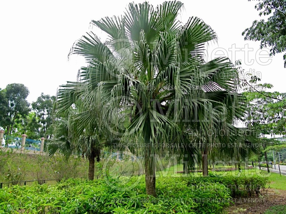 Livistona chinensis (Chinese fan palm) 1