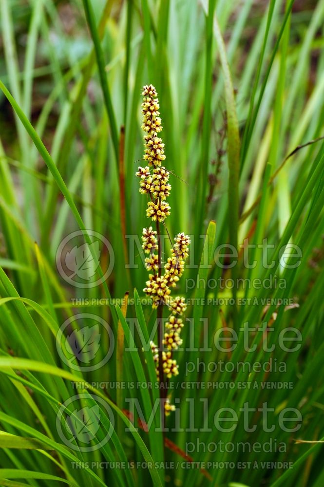 Lomandra Breeze (Dwarf Mat Rush) 1