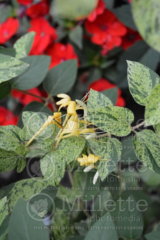 Lonicera Mint Crisp (Honeysuckle) 3