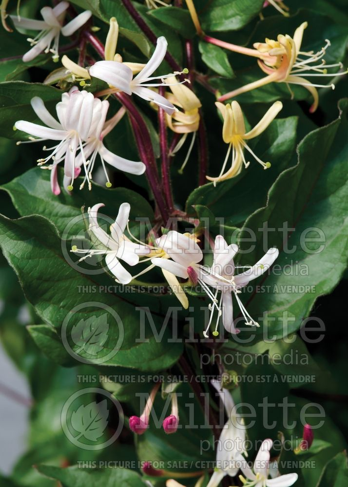 Lonicera Purpurea (Edible Honeysuckle honeyberry - Camerisier chèvrefeuille) 3