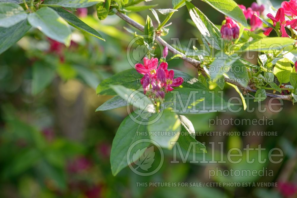 Lonicera Arnold Red (Edible Honeysuckle honeyberry) 2