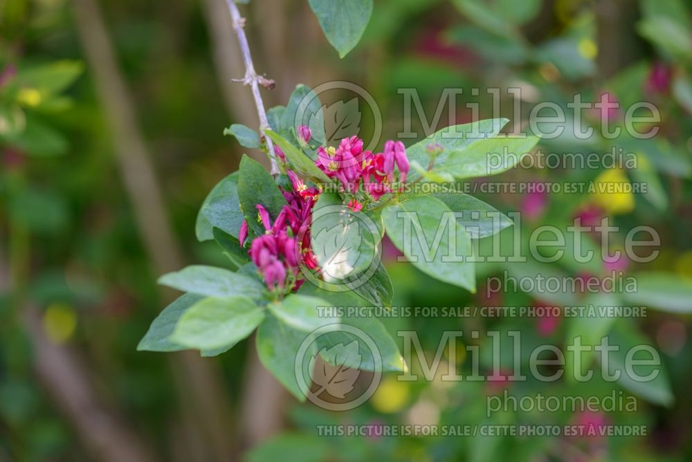 Lonicera Arnold Red (Edible Honeysuckle honeyberry) 1
