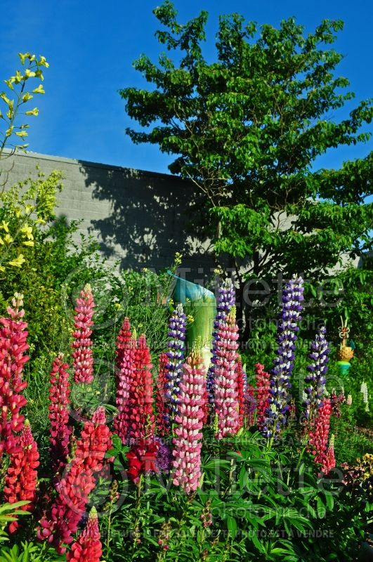 Lupinus Band of Nobles (Lupin) 1