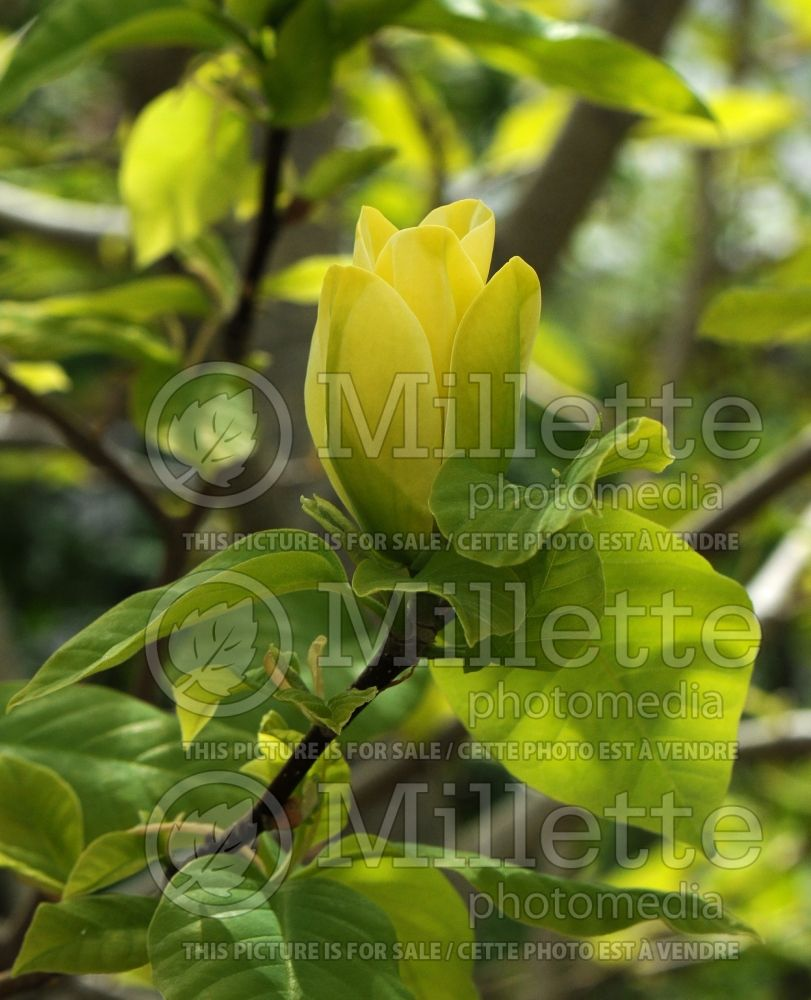 Magnolia Yellow Bird (Magnolia) 4