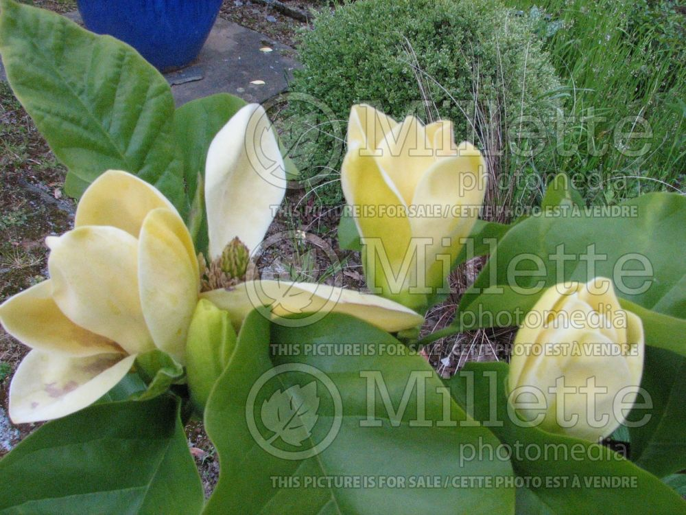 Magnolia Yellow Bird (Magnolia) 2