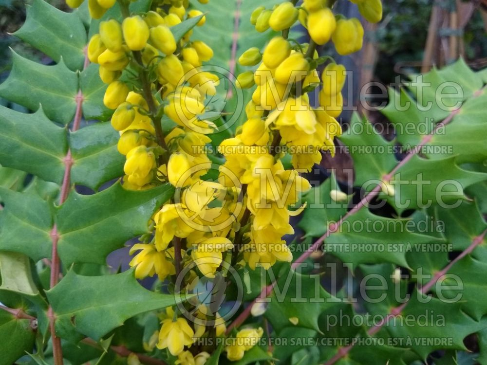 Mahonia Winter Sun (Oregon Grapeholly) 4
