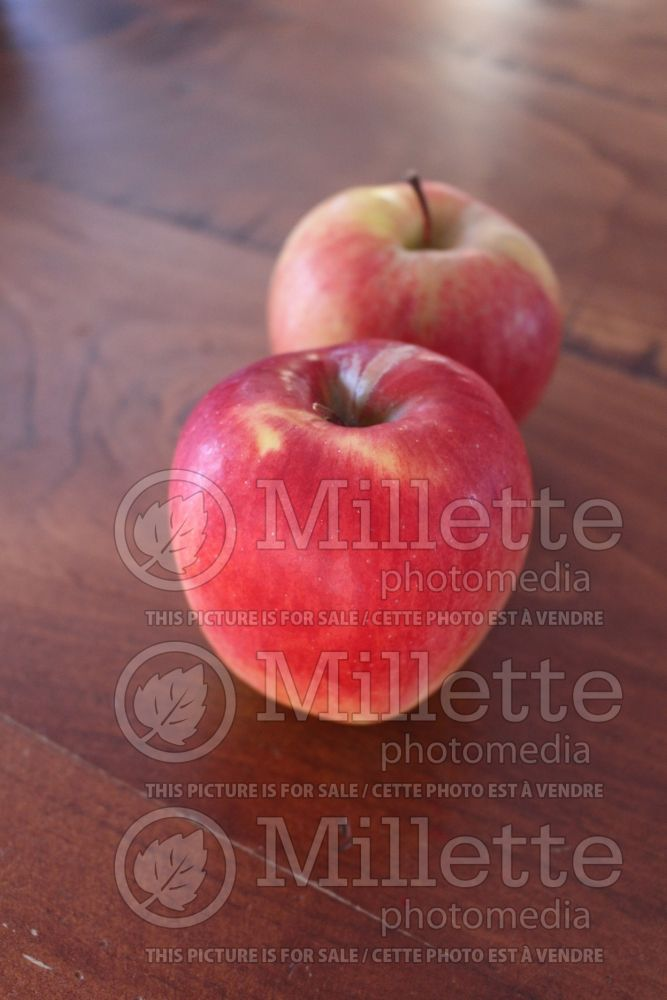 Malus Ambrosia (Apple tree) 1