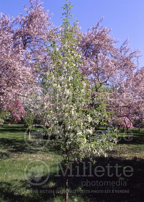 Malus Rosthern (Pommetier) 1