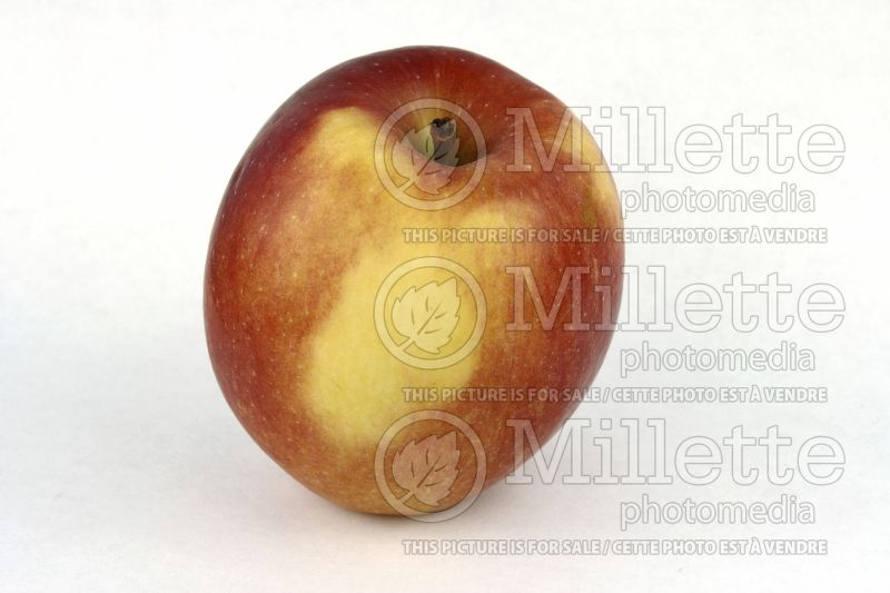 Malus Braeburn (Apple tree) 1