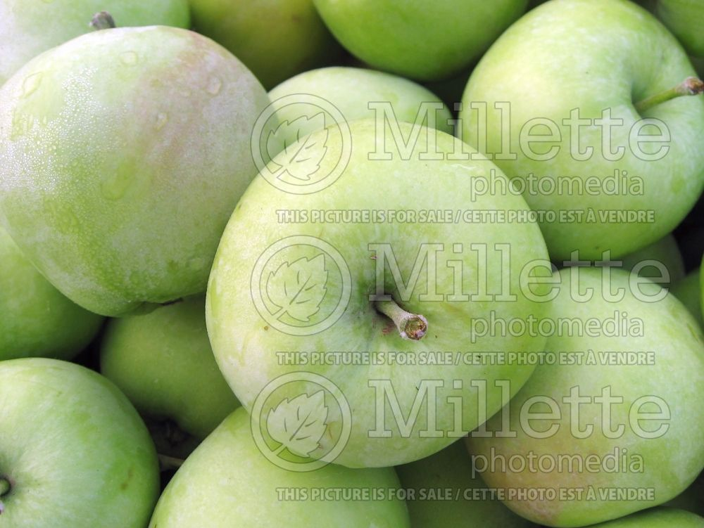 Malus Lodi (Apple tree fruit pomme) 6