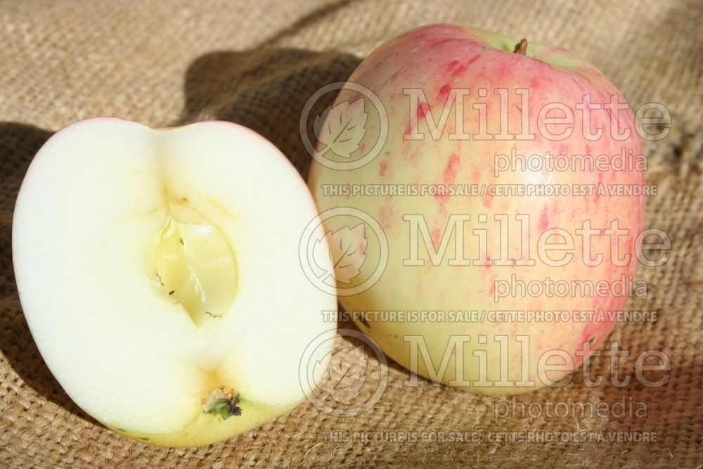 Malus Melba (Apple tree fruit pomme) 2