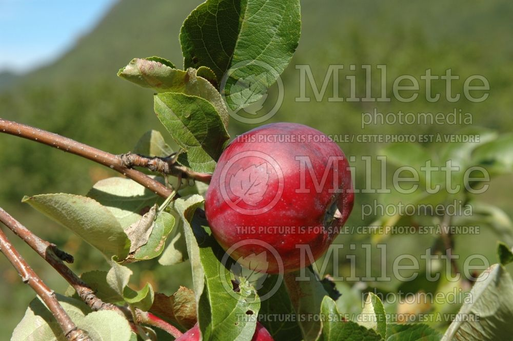 Malus Melba Red (Apple tree fruit pomme) 6