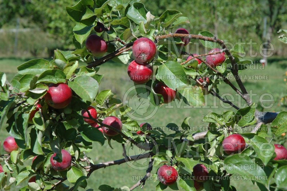 Malus Melba Red (Apple tree fruit pomme) 5