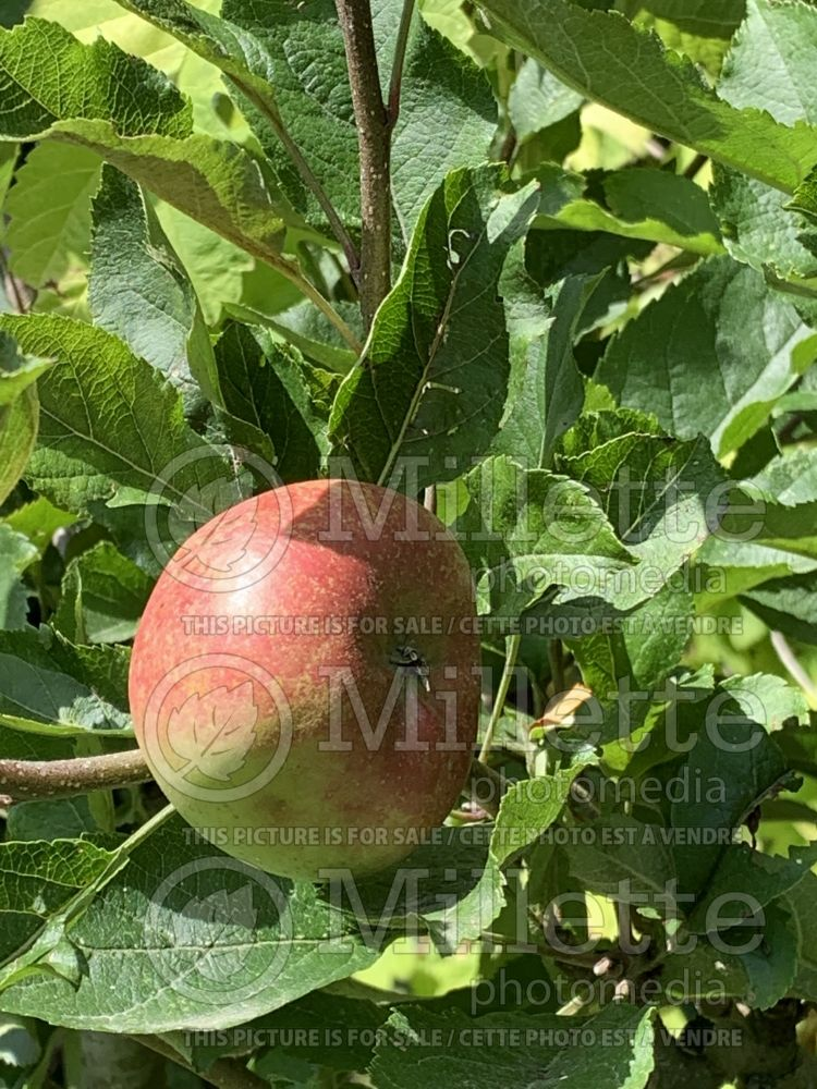 Malus Melrose (Apple tree fruit pomme) 1