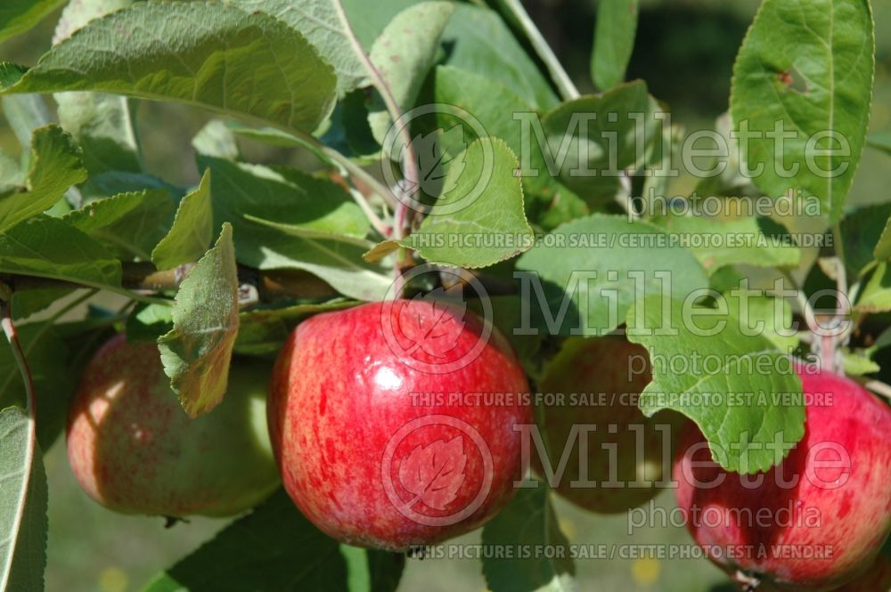 Malus Paula Red (Apple tree fruit pomme) 2