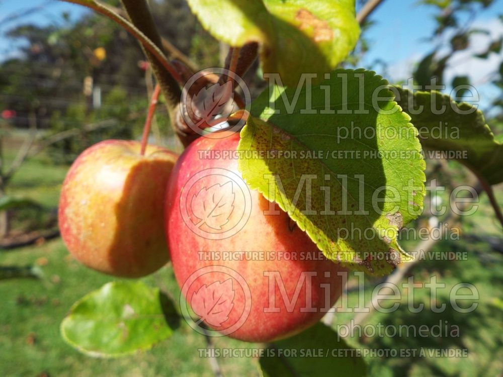 Malus Pink Lady aka Cripps Pink (Apple tree fruit pomme) 3