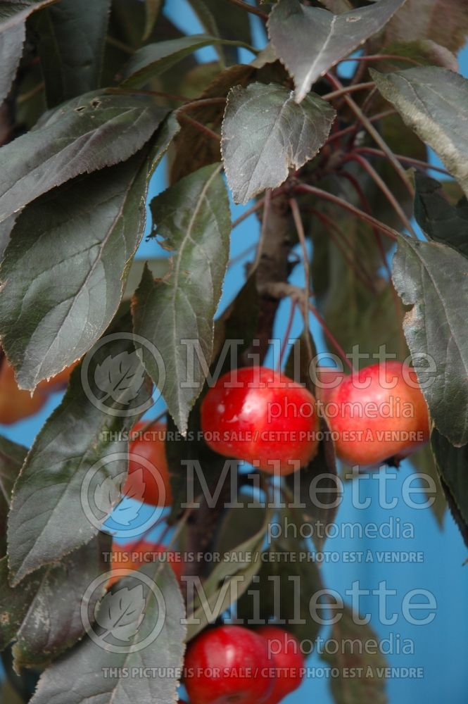 Malus Dreamweaver (Crabbapple tree – fruit - Pommetier) 3