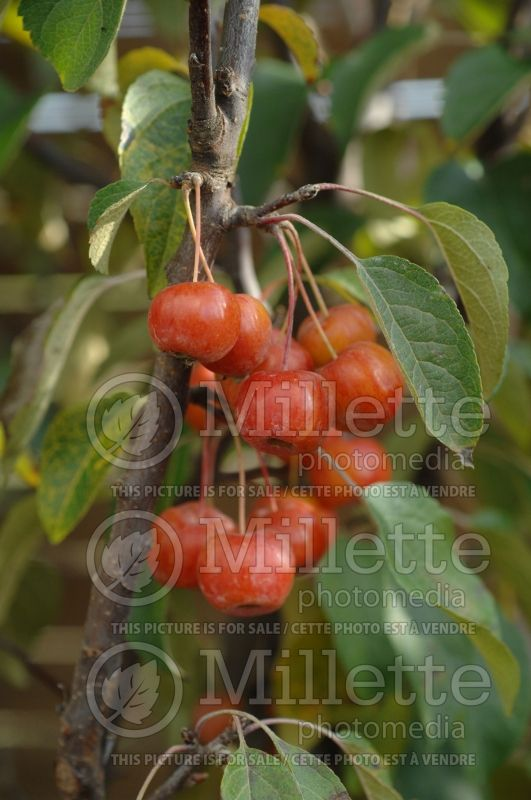 Malus Evereste or Perpetu (Crabapple) 1