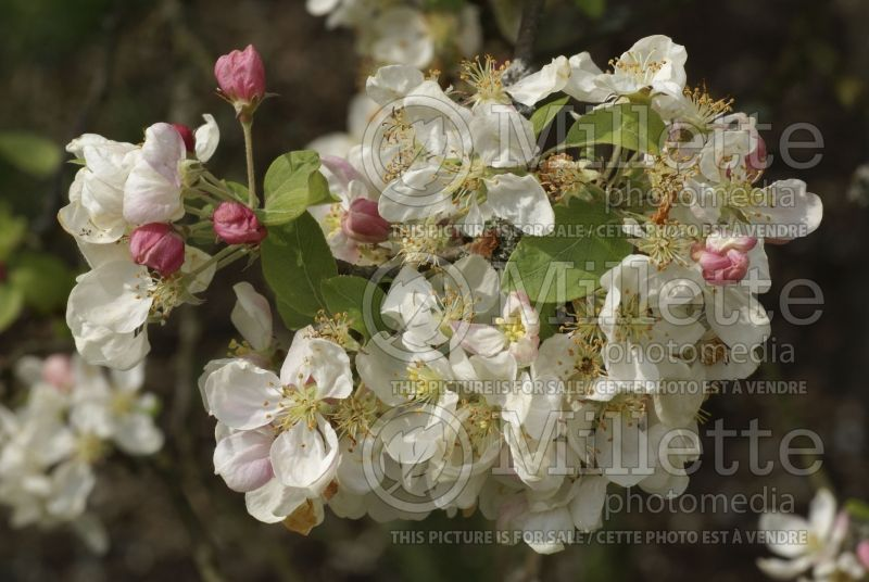 Malus Evereste or Perpetu (Crabapple) 3