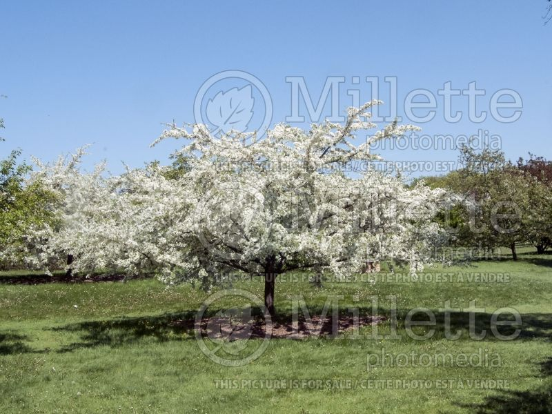 Malus Golden Raindrops (Crabapple) 1