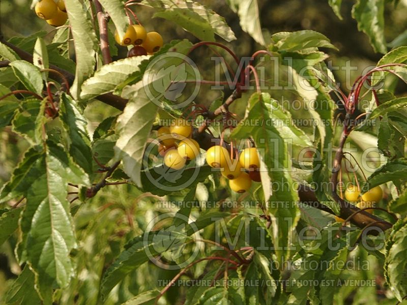 Malus Golden Raindrops (Crabapple) 3