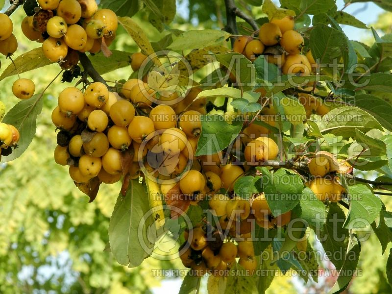 Malus Harvest Gold or Hargozam (crabapple) 5