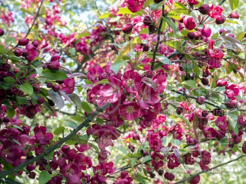 Malus Indian Magic (Crabapple tree) 3