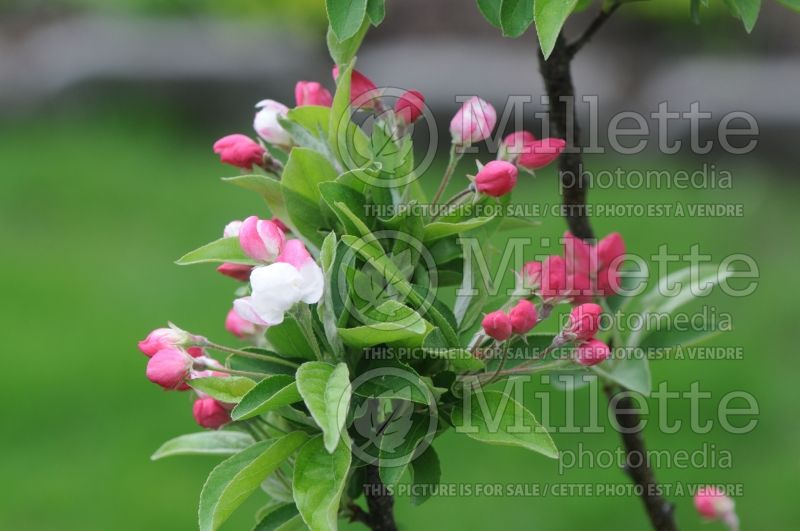 Malus Lollipop (Crabapple) 1