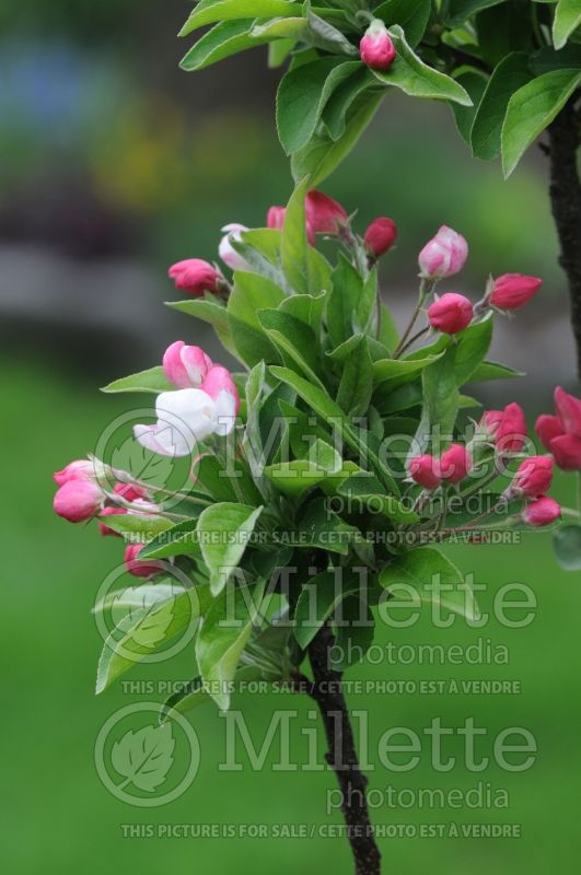 Malus Lollipop (Crabapple) 2