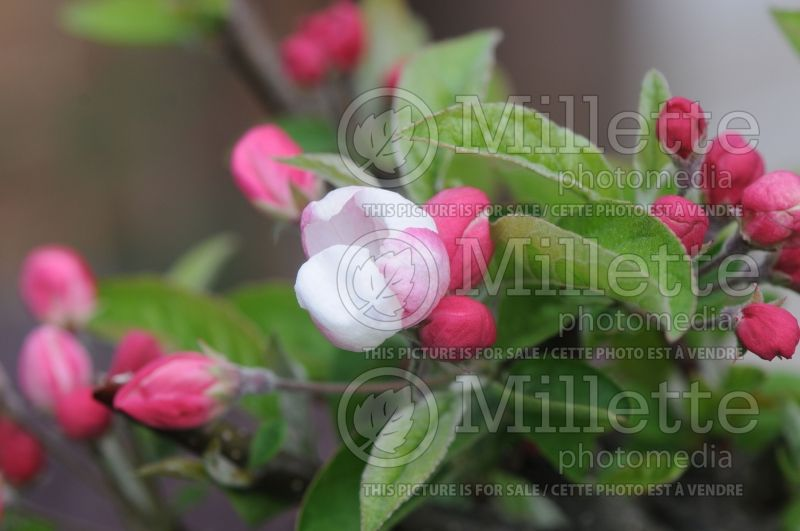 Malus Lollipop (Crabapple) 3