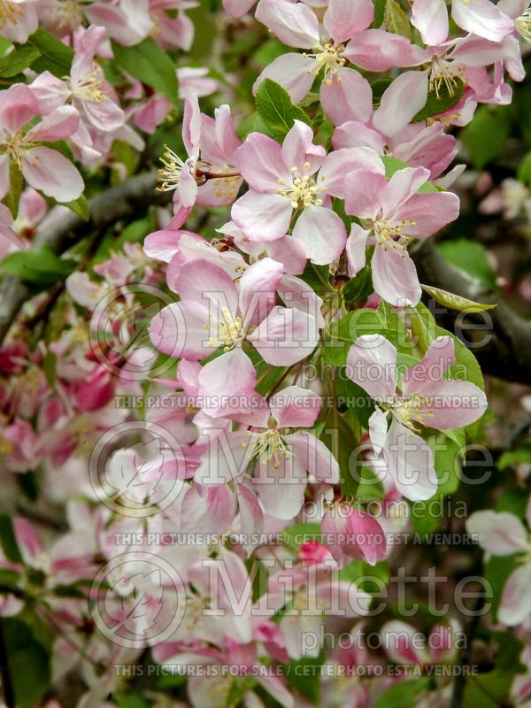 Malus Louisa (Crabapple) 4