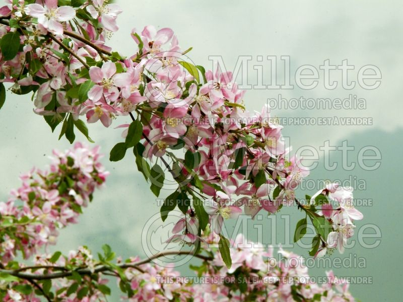 Malus Louisa (Crabapple) 3